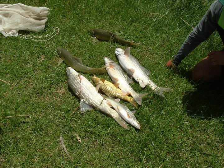 Yellow fish in the orange river air rifle sa forums for Fishing in orange county